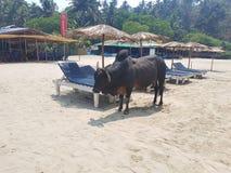在海滩的公牛 库存照片