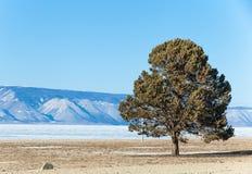 在海滩的单独杉树Olkhon海岛在冻贝加尔湖 免版税图库摄影