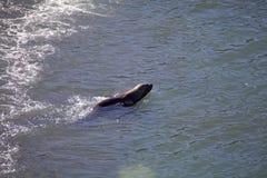 在海滩的南美海狮海驴属flavescens在蓬塔Loma,阿根廷 库存图片