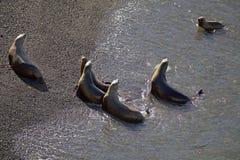 在海滩的南美海狮海驴属flavescens在蓬塔Loma,阿根廷 免版税库存图片