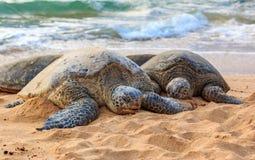 在海滩的危险的夏威夷绿浪乌龟在北部Shor 免版税库存图片