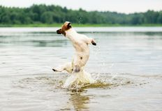 在海滩的夏天乐趣与跳跃高在从后面的水视图的狗 免版税库存照片