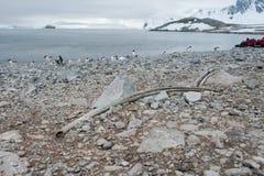 在海滩的大古老骨头 免版税库存图片