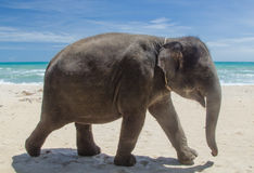在海滩的大象 免版税图库摄影