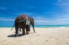 在海滩的大象 免版税库存图片