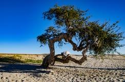 在海滩的孤立橄榄树 免版税库存图片