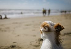 在海滩的小白色狗 免版税库存照片