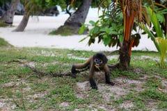在海滩的小的叶子猴子 免版税库存照片