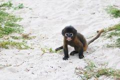在海滩的小的叶子猴子 库存图片