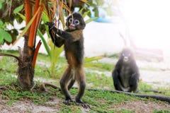 在海滩的小的叶子猴子 库存照片