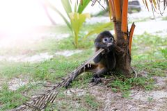 在海滩的小的叶子猴子 免版税库存图片
