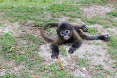 在海滩的小的叶子猴子 免版税图库摄影
