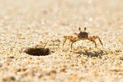 在海滩的小的海运螃蟹 免版税图库摄影
