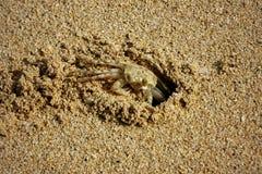 在海滩的小的螃蟹在奥阿胡岛,夏威夷 免版税库存图片
