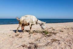 在海滩的山羊 免版税库存照片