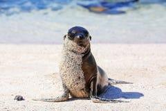 在海滩的幼小加拉帕戈斯海狮在埃斯帕诺拉海岛,Galapa上 库存照片