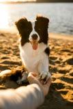 在海滩的微笑的滑稽的博德牧羊犬狗 背景的海 库存照片