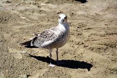 在海滩的微笑的鸥,在沙子的鸥 库存图片