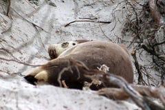 在海滩的成年女性海狮干燥在南澳大利亚 库存照片