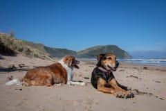 在海滩的新西兰Huntaway狗在退休以后从运作全时绵羊成群的10年 库存照片