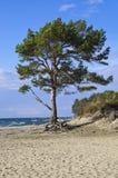 在海滩的杉木结构树 免版税图库摄影