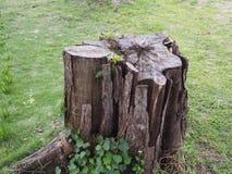 在海滩的树桩树 免版税库存照片