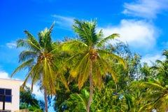 在海滩的椰子在一个晴天在蓬塔Cana 免版税图库摄影