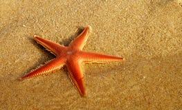 在海滩的橙色梳子海星透视- Astropecten sp 库存图片