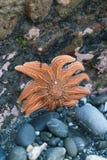 在海滩的橙色海星 库存图片