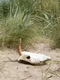 在海滩的母牛头骨 免版税图库摄影