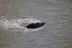 在海滩的海狮在蓬塔Loma,阿根廷 免版税库存图片