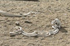 在海滩的海象骨头 免版税库存图片