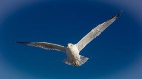 在海滩的海鸥飞行 免版税库存照片