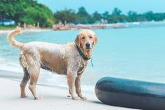 在海滩的湿狗 库存图片