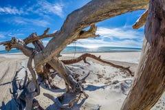 在海滩的漂流木头在圣乔治海岛佛罗里达上 免版税库存图片