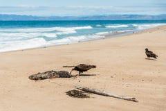 在海滩的火鸡兀鹰 自然的回收过程,生活圈子  免版税库存照片