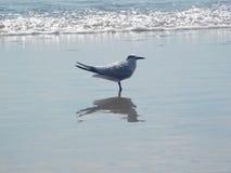 在海滩的燕鸥身分,佛罗里达,美国 免版税库存图片