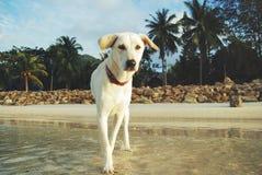 在海滩的白色狗 免版税库存图片