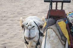在海滩的白色骆驼 库存照片