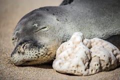 在海滩的睡觉夏威夷修士封印 库存图片