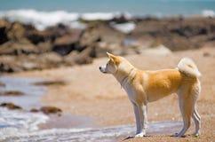 在海滩的秋田Inu狗 免版税库存照片