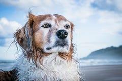 在海滩的红色和白色卷发的大牧羊犬类型狗 库存照片