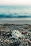 在海滩的美丽的大贝壳 库存照片
