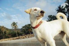 在海滩的美丽的白色狗 库存图片