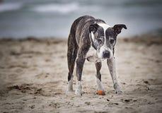 在海滩的美国stafford portret 库存图片