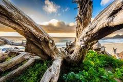 在海滩的老树 免版税图库摄影