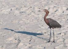 在海滩的苍鹭 免版税库存照片