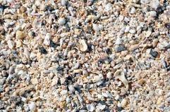 在海滩的许多贝壳 库存照片