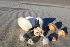 在海滩的贝壳巴伊亚德洛斯安赫莱斯,下加利福尼亚州,墨西哥 免版税库存图片
