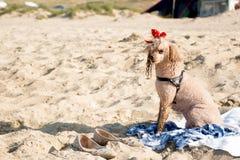 在海滩的逗人喜爱的长卷毛狗 免版税库存图片